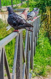 I piccioni si siedono in una linea Immagini Stock Libere da Diritti