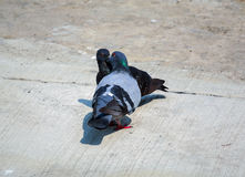 I piccioni sono supporto dello svizzero da montare Fotografie Stock