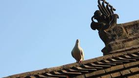 I piccioni sulle mattonelle di tetto del tempio, Cina stock footage