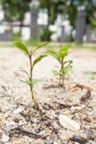 I piccoli alberi si sviluppano Immagini Stock