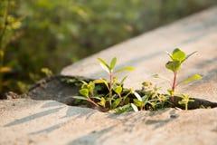 I piccoli alberi verdi stanno coltivando il pavimento del cemento delle crepe fotografia stock