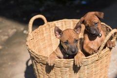 I piccoli cani svegli cattureranno il vostro cuore immagini stock libere da diritti