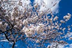 I piccoli fiori bianchi della molla fioriscono un giorno di molla caldo e delicato, contro un bello cielo blu immagini stock libere da diritti