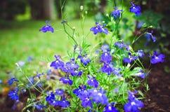 I piccoli fiori blu si sviluppano nel giardino Bella priorit? bassa di estate fotografia stock libera da diritti