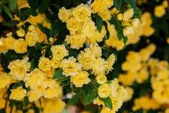 I piccoli fiori delicati delle rose gialle, banksiae di Rosa, sono aumentato fiore che fiorisce nel giardino Il tempo di primaver fotografia stock libera da diritti