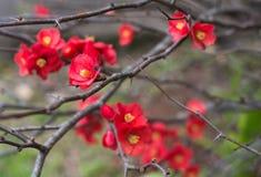 I piccoli fiori di chaenomeles rossi in giardino di inverno in Toowoomba, Australia Fotografia Stock