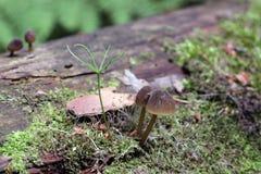 I piccoli funghi minuscoli ed il mini pino stanno sviluppando sul vecchio tronco di albero caduto fotografie stock