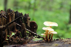 I piccoli funghi minuscoli stanno sviluppando sul vecchio ceppo nella foresta immagine stock
