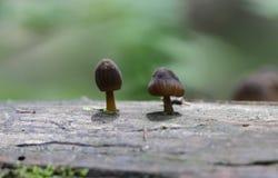 I piccoli funghi minuscoli stanno sviluppando sul vecchio tronco di albero caduto immagine stock