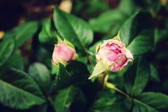 I piccoli germogli di un rosa sono aumentato Fotografie Stock