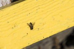 I piccoli hoverflies a strisce si siede su un bordo giallo Fotografia Stock Libera da Diritti