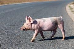 I piccoli maiali attraversano la strada Fotografie Stock Libere da Diritti