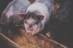 I piccoli maiali mangiano da una depressione di legno Fotografia Stock Libera da Diritti