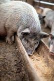 I piccoli maiali mangiano da una depressione di legno Fotografia Stock