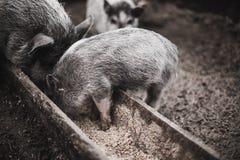 I piccoli maiali mangiano da una depressione di legno Fotografie Stock Libere da Diritti