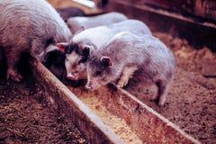 I piccoli maiali mangiano da una depressione di legno Immagine Stock