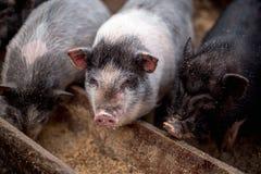 I piccoli maiali mangiano da una depressione di legno Fotografie Stock