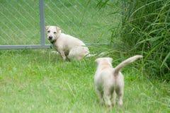 I piccoli o piccoli cani bianchi sono correre e giocanti insieme sull'erba verde Fotografia Stock