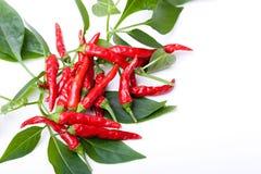 I piccoli peperoni di peperoncino rosso caldo piccanti rossi sulla pianta va Immagine Stock
