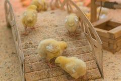 I piccoli polli gialli stanno prendendo il sole nell'azienda agricola Fotografie Stock Libere da Diritti