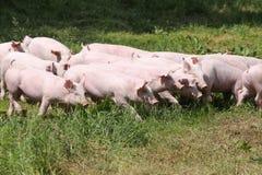 I piccoli porcellini dei maiali pascono liberamente sull'estate dell'azienda agricola Immagine Stock