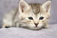 I piccoli sonni grigi del gattino Immagini Stock Libere da Diritti