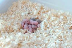 I piccoli topi neonati sono ciechi nel nido immagini stock