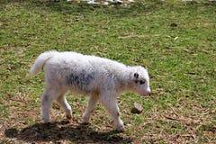 i piccoli yak bianchi Immagini Stock
