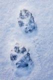 I piedi animali del ` s stampano su una neve Immagini Stock
