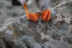 I piedi del puffino (arctica del Fratercula) Immagine Stock