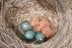 I pilaris del Turdus della cesena annidano con tre uova blu e tre pulcini nudi neonati immagine stock