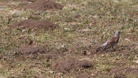 I pilaris del Turdus della cesena del tordo hanno raggiunto il verme nella terra, fine, molla in anticipo video d archivio