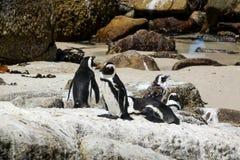I pinguini africani ai massi tirano, la Sudafrica fotografia stock libera da diritti
