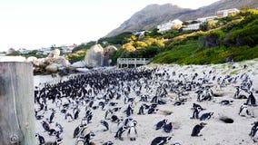 I pinguini africani che stanno sui massi tirano fotografia stock