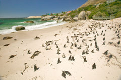 I pinguini ai massi tirano, fuori di Cape Town, il Sudafrica in secco fotografie stock