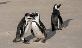 I pinguini ai massi tirano in Simonstown, Cape Town nel Sudafrica La spiaggia è domestica ad una colonia di Afr immagine stock libera da diritti