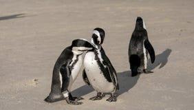 I pinguini ai massi tirano in Simonstown, Cape Town nel Sudafrica La spiaggia è domestica ad una colonia di Afr immagini stock libere da diritti