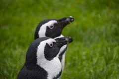 I pinguini di Magellan sono un gruppo di acquatico, uccello non-volatore che vivono quasi esclusivamente fotografia stock