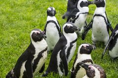 I pinguini di Magellan sono un gruppo di acquatico, uccello non-volatore che vivono quasi esclusivamente immagine stock