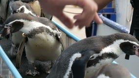 I pinguini divertenti scendono il corridoio al recinto chiuso in zoo Kao Kheo Thailand stock footage