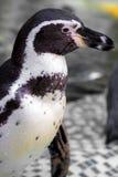 I pinguini sono bagnati Fotografie Stock Libere da Diritti