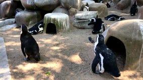 I pinguini svegli che camminano attraverso il loro uomo hanno fatto l'ambiente stock footage