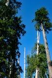 I pini della foresta salgono in cielo blu immagini stock