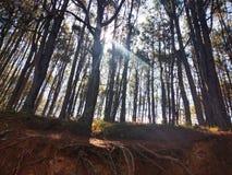 I pini hanno allineato in una piccola foresta con i raggi di sole che li accendono su immagini stock libere da diritti