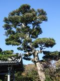 I pini neri giapponesi all'entrata di un tempio immagine stock libera da diritti