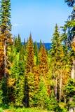I pini rossi e di morti dovuto gli attacchi dello scarabeo del pino in Sun alza BC nel Canada fotografia stock