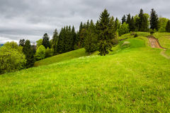 I pini si avvicinano alla valle sul pendio di montagna Fotografia Stock Libera da Diritti