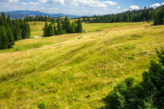 I pini si avvicinano alla valle sul pendio di montagna Immagini Stock Libere da Diritti