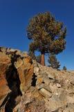I pini si sviluppano dalle rocce in montagne Fotografia Stock