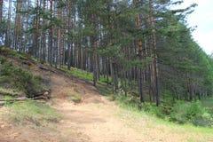 I pini sono alberi della conifera nel genere pinus Immagini Stock